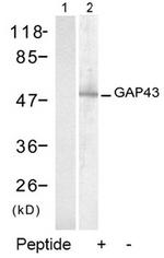 AP02772PU-S - GAP43