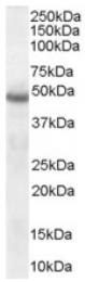 AP16342PU-N - Neuroserpin / SERPINI1