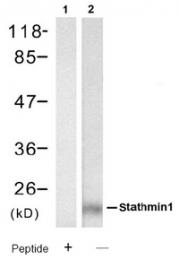 AP08091PU-S - Stathmin / STMN1