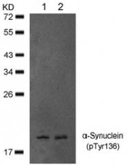 AP09478PU-N - Alpha-Synuclein / SNCA