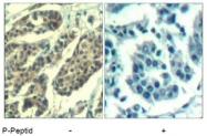 AP09487PU-S - Cyclin B1