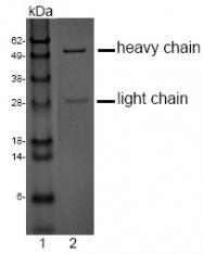 DM1200 - CD275 / ICOS Ligand