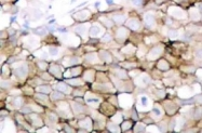 AP01716PU-N - CD309 / VEGFR-2 / Flk-1