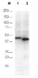 R1181 - 6xHistidine Epitope Tag