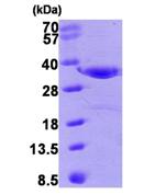 AR09349PU-L - Annexin A4 / ANXA4