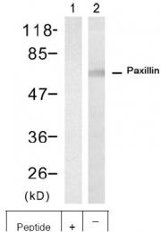 AP09512PU-N - Paxillin /  PXN