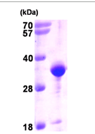 AR09370PU-L - VAMP-associated protein A (VAPA)