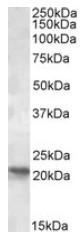 AP09523PU-N - POLR2G