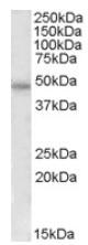 AP08322PU-N - Thrombin receptor / F2R
