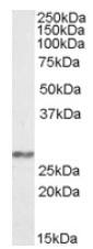 AP08324PU-N - Complex I subunit NDUFS3