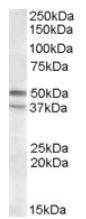 AP08328PU-N - Serotonin receptor 7 (HTR7)