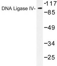 AP06802PU-N - DNA ligase 4