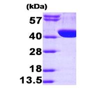 AR09376PU-L - Aldolase A / ALDOA