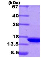 AR09379PU-L - CDK2AP1 / DOC1