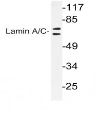 AP06433PU-N - Lamin-A/C (LMNA)