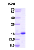 AR09389PU-L - NDP kinase B / NME2