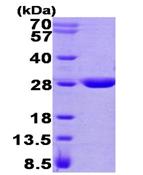 AR09390PU-L - Maleylacetoacetate isomerase / GSTZ1