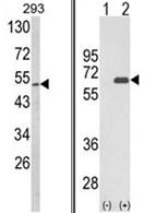AP18193PU-N - Sestrin-2 (SESN2)