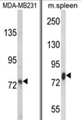 AP18105PU-N - Lactotransferrin