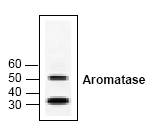 AP00001PU-N - Aromatase