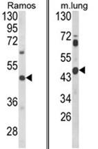 AP17961PU-N - CXCR7 / GPR159