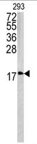 AP17187PU-N - Caveolin-3
