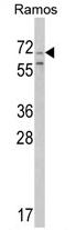 AP17213PU-N - Secretogranin-2 (SCG2)