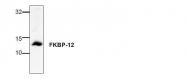 AP00290PU-N - FKBP1A /  FKBP12
