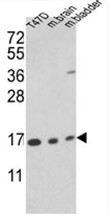 AP17657PU-N - Cyclophilin A