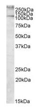 AP09603PU-N - Talin-1 (TLN1)