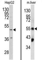 AP17368PU-N - Fibrinogen gamma chain