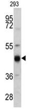 AP17527PU-N - Cytokeratin 13