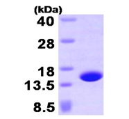 AR09408PU-L - Profilin-4 (PFN4)