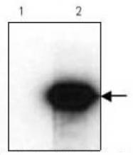 AM09142PU-N - HA Epitope Tag (YPYDVPDYA)