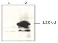 AM09145PU-N - Pk (V5) Epitope Tag (GKPIPNPLLGLDST)