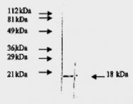 AM09157PU-N - FGF basic / FGF2