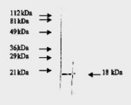 AM09159PU-N - FGF basic / FGF2