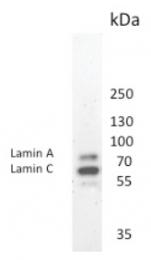 BM6000P - Lamin-A/C (LMNA)