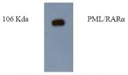AM09254PU-N - PML / RNF71