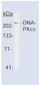 AM00628PU-N - DNA-PKcs / PRKDC / XRCC7