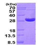 AR09413PU-L - Peroxiredoxin-4 / PRDX4