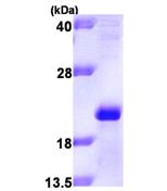 AR09421PU-L - Apolipoprotein M / Apo M