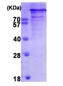 AR09423PU-L - Chromogranin B