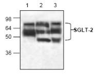 AP00335PU-N - SGLT2 / SLC5A2