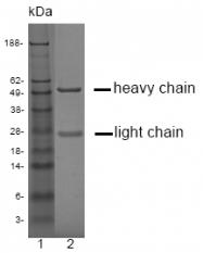 DM1225 - Kallikrein-3 / PSA / KLK3