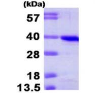 AR09425PU-L - Cyclin H