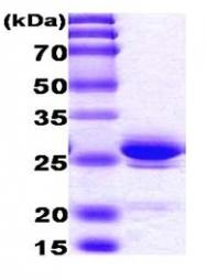 AR03001PU-N - HMGB1