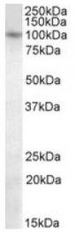 AP10057PU-N - PRDM1 / BLIMP1