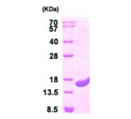 AR09451PU-L - Protein CutA