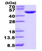 AR09457PU-L - PA2G4 / EBP1